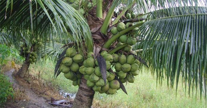 Bài văn thuyết minh về Cây dừa số 7