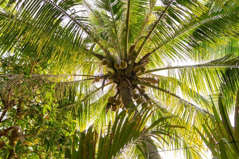 Bài văn thuyết minh về Cây dừa số 8