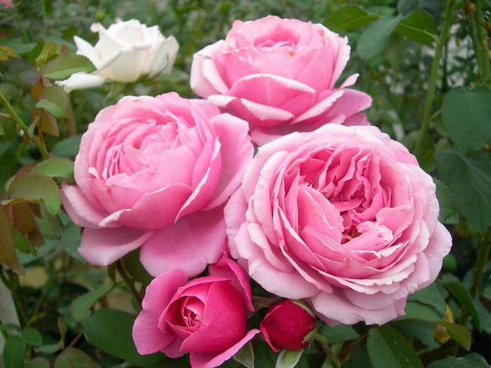 Bài văn thuyết minh về Cây hoa hồng số 1