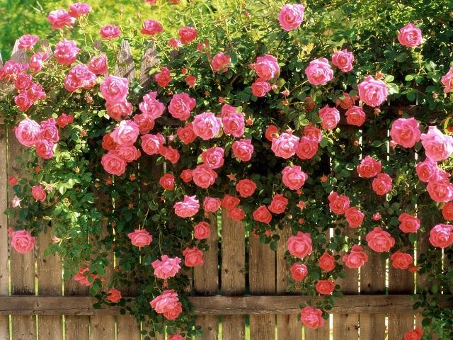 Bài văn thuyết minh về Cây hoa hồng số 2