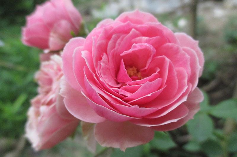 Bài văn thuyết minh về Cây hoa hồng số 5