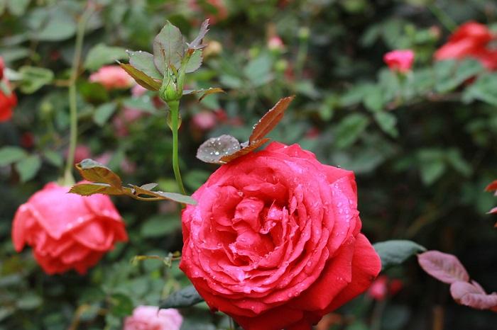 Bài văn thuyết minh về Cây hoa hồng số 6