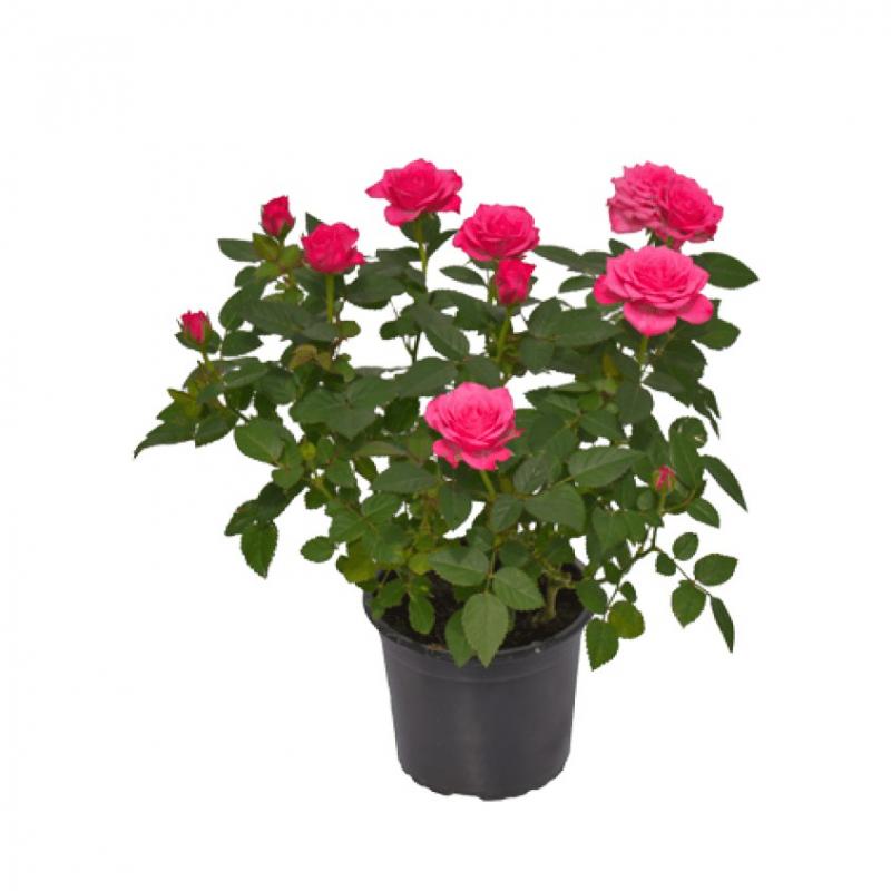 Bài văn thuyết minh về Cây hoa hồng số 7