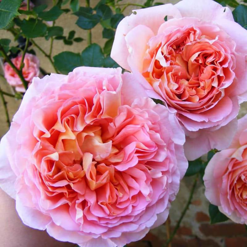 Bài văn thuyết minh về Cây hoa hồng số 8