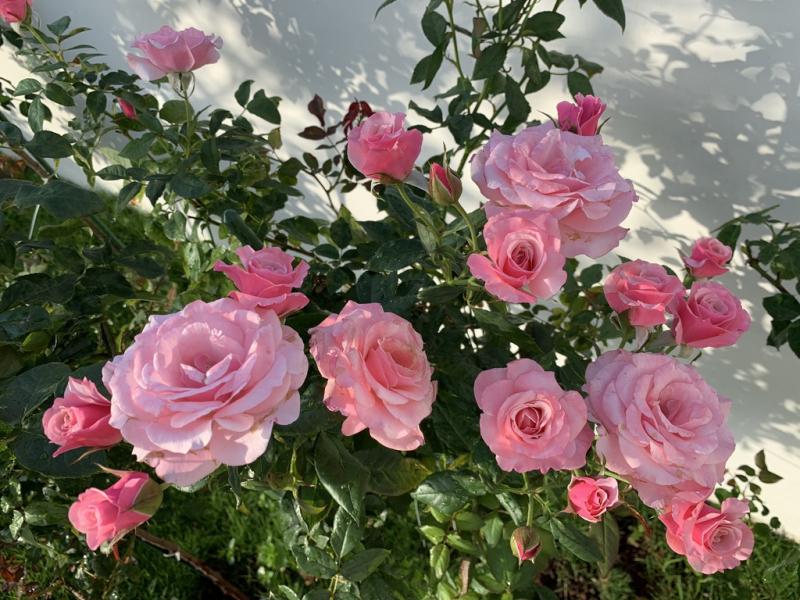 Bài văn thuyết minh về Cây hoa hồng số 9