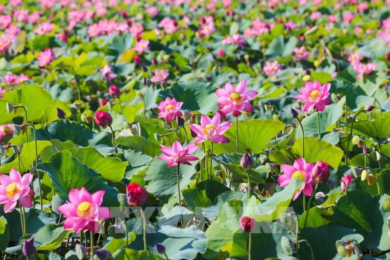 Bài văn tả cảnh đầm sen đang mùa hoa nở số  10