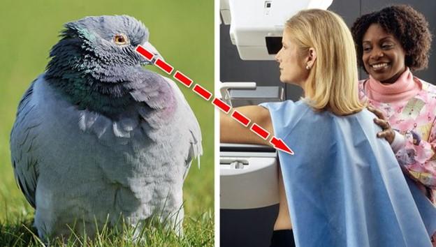 Chim bồ câu có thể xác định ung thư vú trong chụp quang tuyến vú