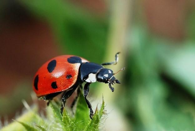 Dụ bọ rùa vào khu vườn nhà bạn