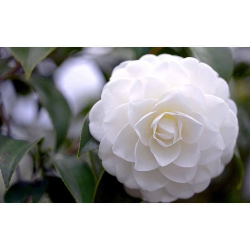 Hoa bạch trà