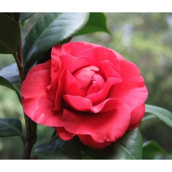 Hoa trà đỏ (Hoa trà lựu)