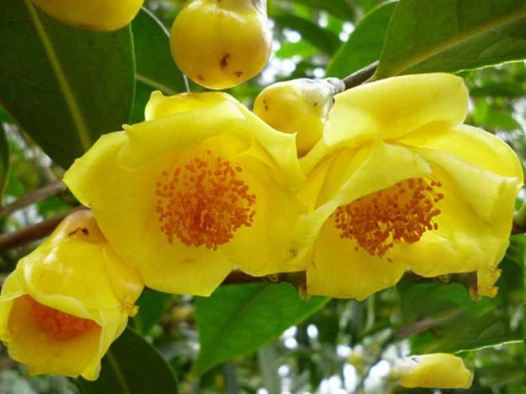 Hoa trà vàng