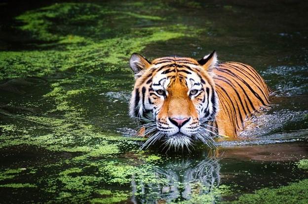 Những con hổ của Ấn Độ
